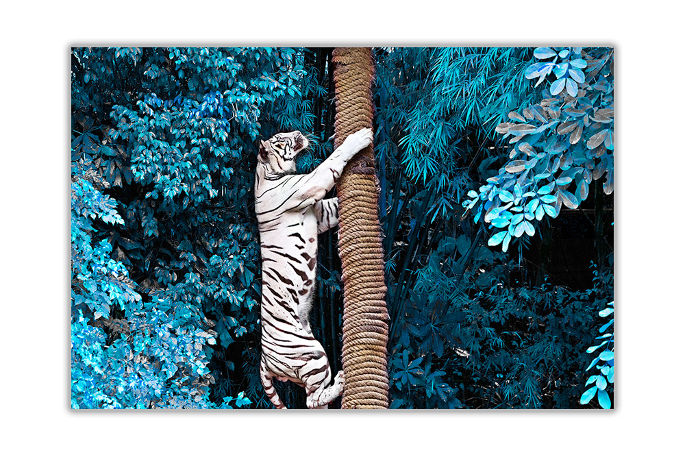White-Tiger-Climbing-Tree-Poster-Prints-Wall-Art-Decoration-Wildlife-Pictures